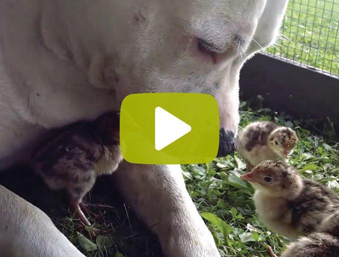 blog_yummypets_video_pitbull_poussins_07_2015