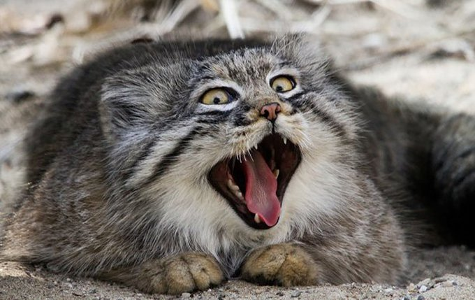 blog_yummypets_pallas_cat_08_2015_7