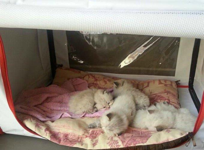 portée de chatons blancs