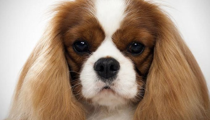 cavalier king charles cariñoso