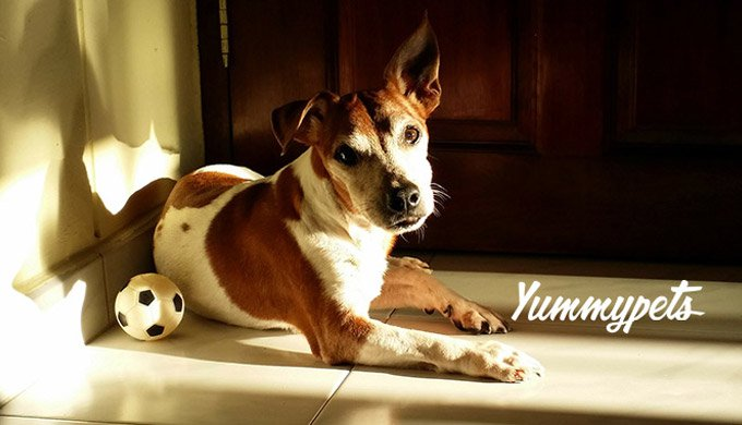 blog_yummypets_jack_russell_terrier_01_09_2015