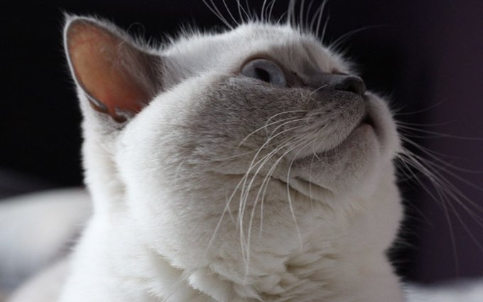 chat british shorthair blanc
