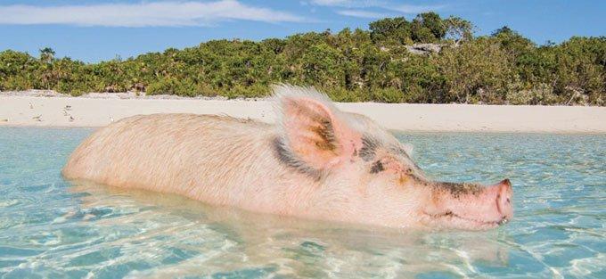 blog_yummypets_visit_pig_beach_in_the_bahamas2_09_2015