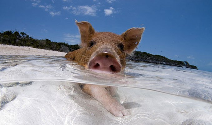blog_yummypets_visit_pig_beach_in_the_bahamas_09_2015