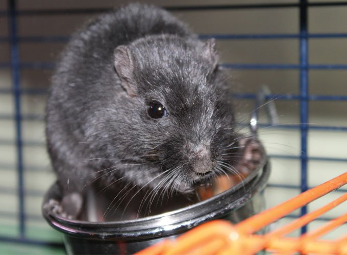 All you need to know about your gerbil's diet - Yummypets