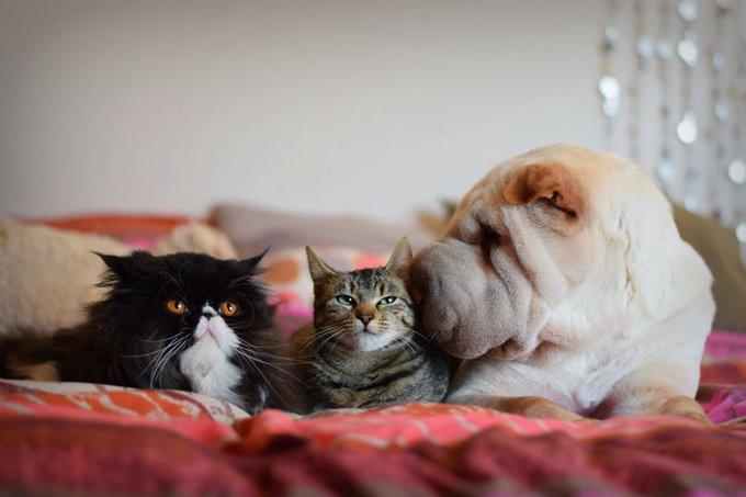 deux chats et un sharpei sur un lit