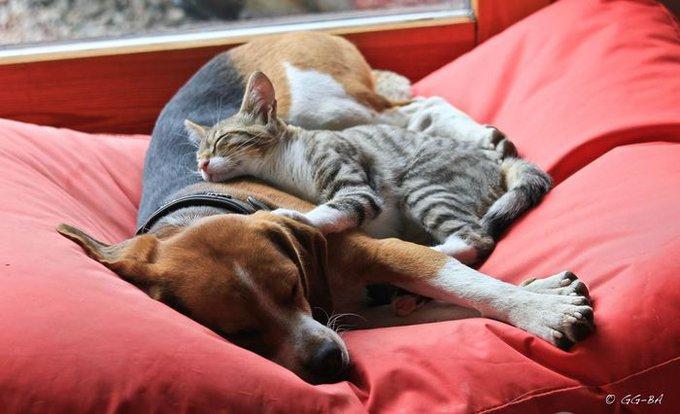 chat fait un câlin à son beagle