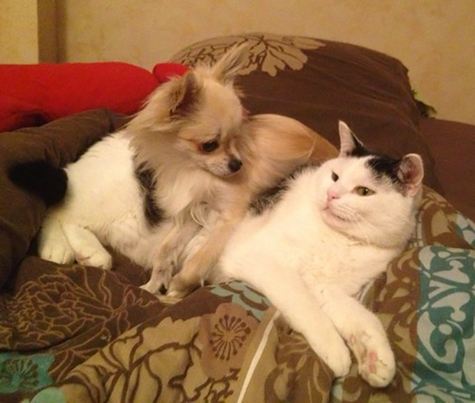chat et chihuahua