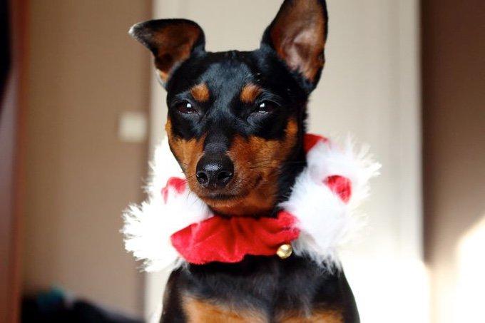 blog_yummypets_les_chiens_sont_prets_pour_les_fêtes_03_12_2015