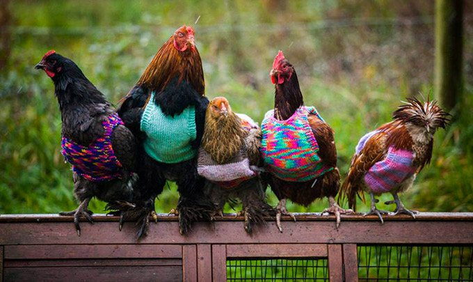 Ces poules portent des pulls en laine