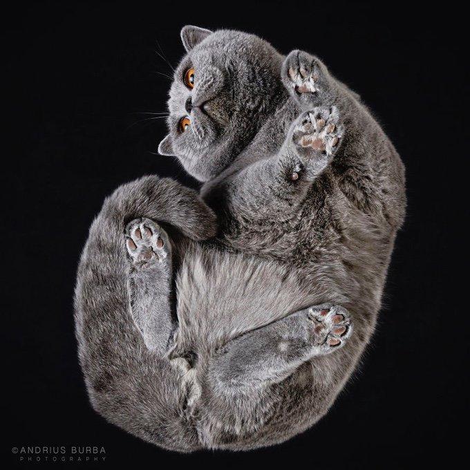 chartreux chat pattes coussinet
