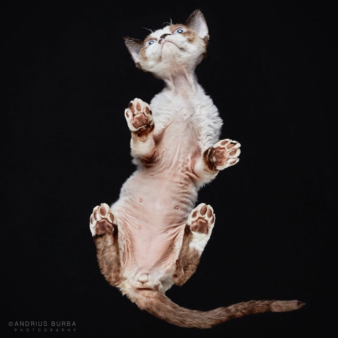 coussinet chat sphynx
