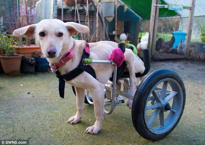Indie, le chien handicapé avec ses roulettes