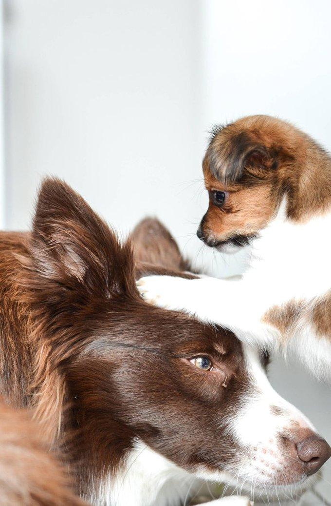 Chihuahua et Border Collie