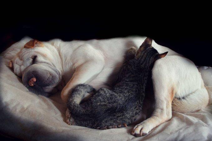 Chat dors sur son chien-coussin