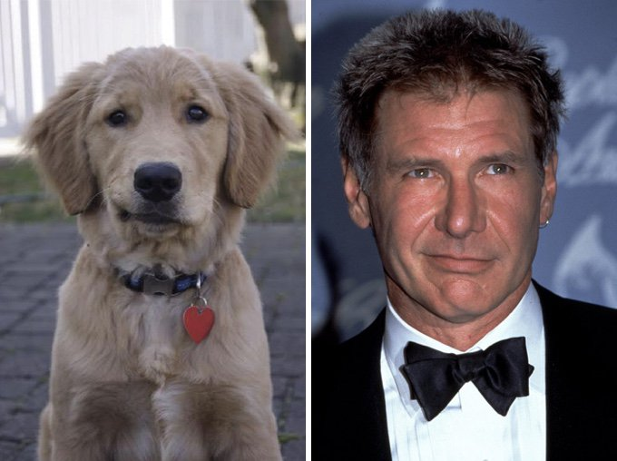 chien golden retriever sosie harrison ford