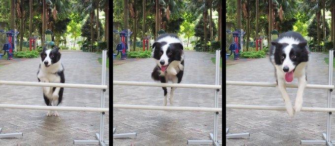 chien border collie saut barrière