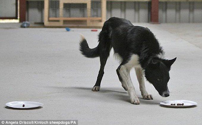 chien border collie gamelle test QI