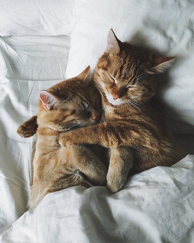 chats roux lit câlin