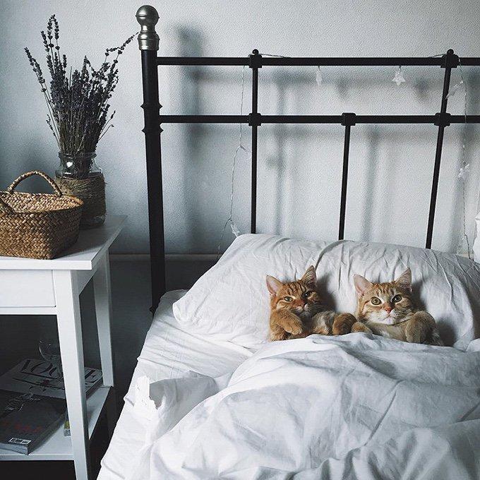 Chats roux dans un lit