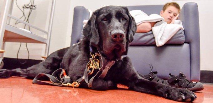 chien labrador noir chien d'assistance enfant autiste