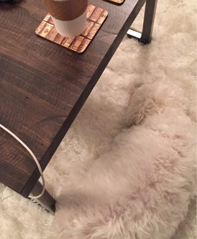 chien blanc tapis caméléon poils