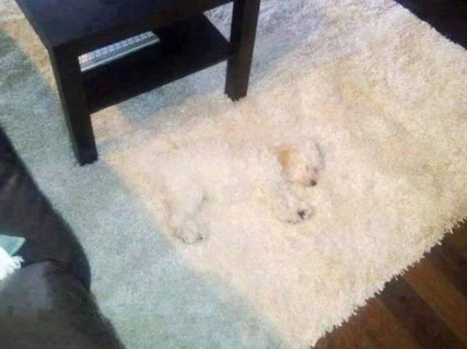 petit chien caché tapis caméléon