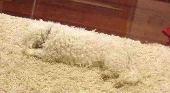 chien tapis caméléon blanc