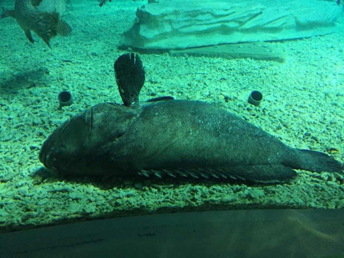 poisson merou aquarium mort