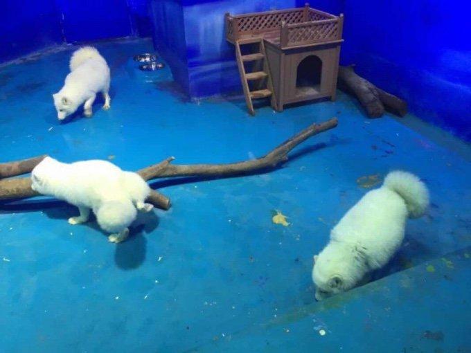 renard arctique cage chine