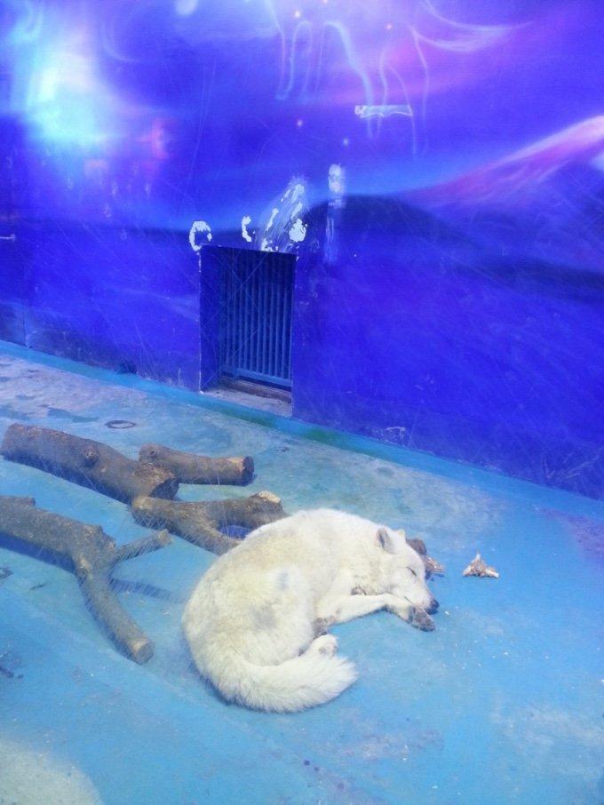 loup blanc endormi cage chine