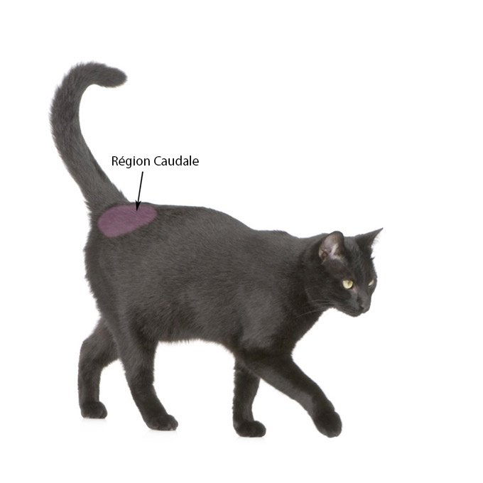 Base de la queue du chat