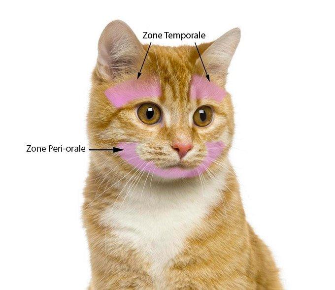 zones faciales du chat