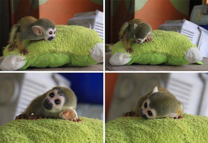 petit singe et une peluche