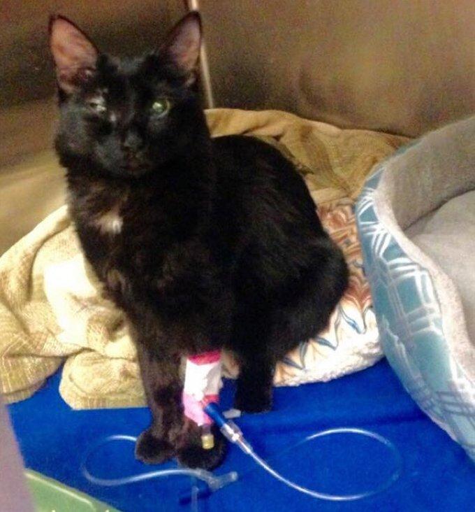 chat noir blessé vétérinaire convalescence