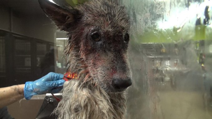 chien loup bain blessé sang