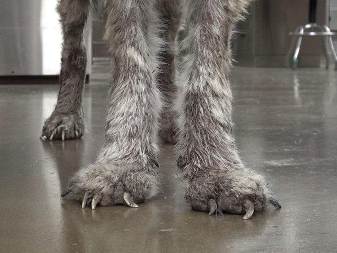 pattes et griffes chien loup trop longues