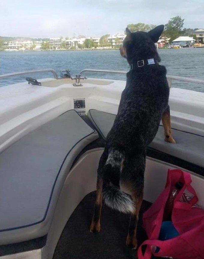 chien bouvier australien bateau