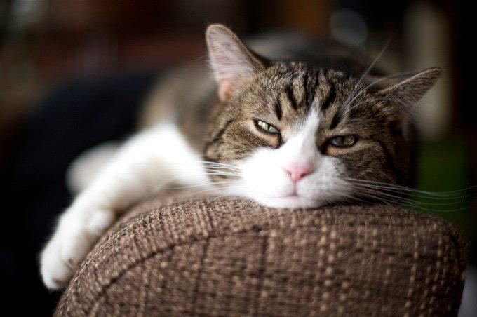 les oreilles du chat sont penchées vers l'avant
