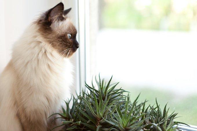 oreilles du chat chat ragdoll fenêtre