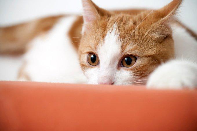 chat roux blanc peur