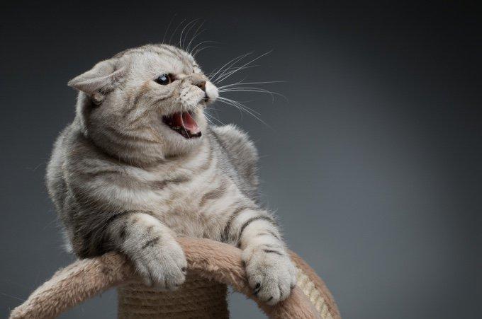 chat tabby gris énervé
