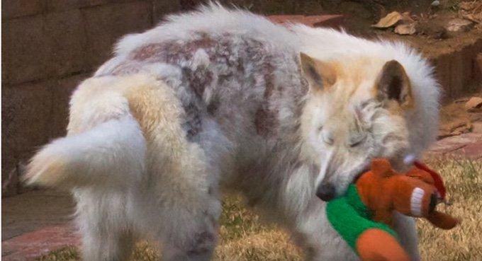 sauve-chien-gemma-02-02-2016