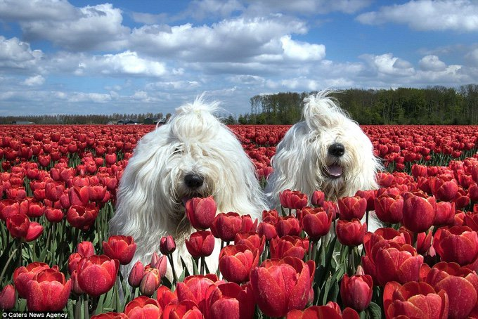sheepdog red flowers