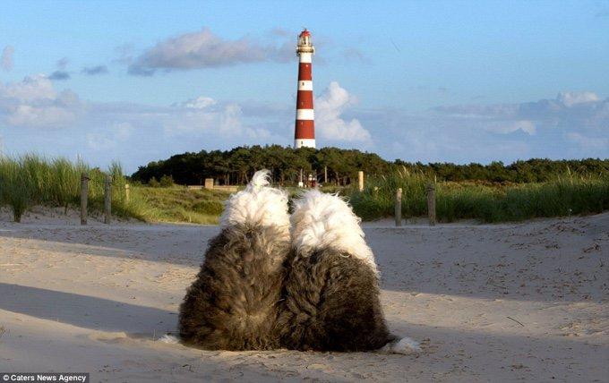sheepdog beach
