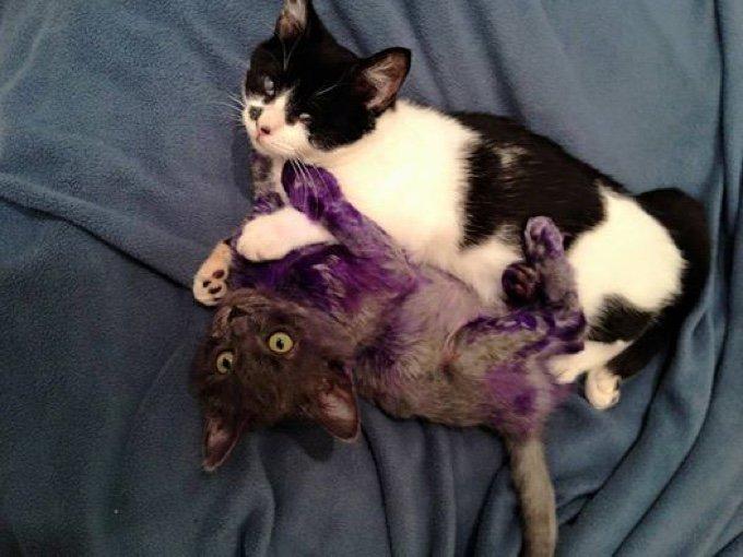 chaton violet chatte noir et blanc aveugle