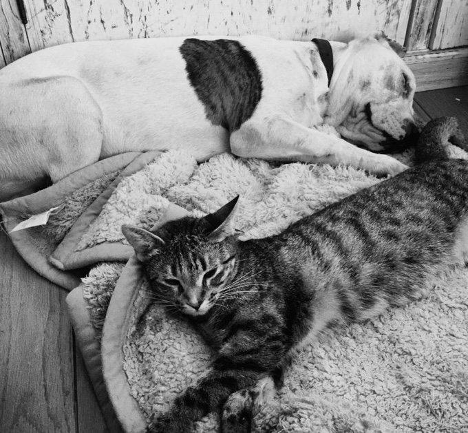 Pit Bull dort chat amitié