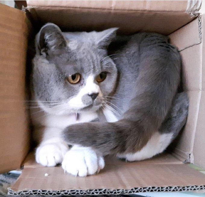 chat gris blanc carton