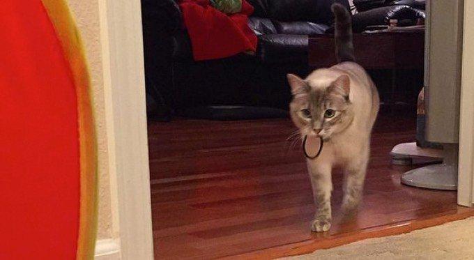 Chat qui aime les élastiques