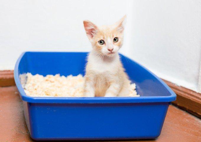 Chat dans sa litière